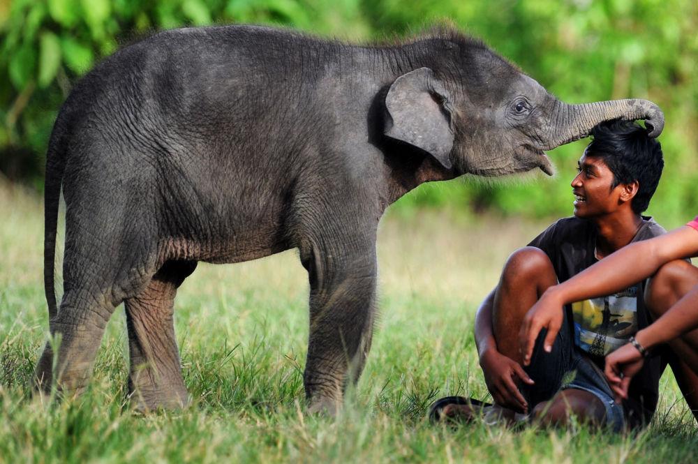 蘇門答臘島蘇門答臘島勒塞爾生態系統自然保護區中的一隻小象。