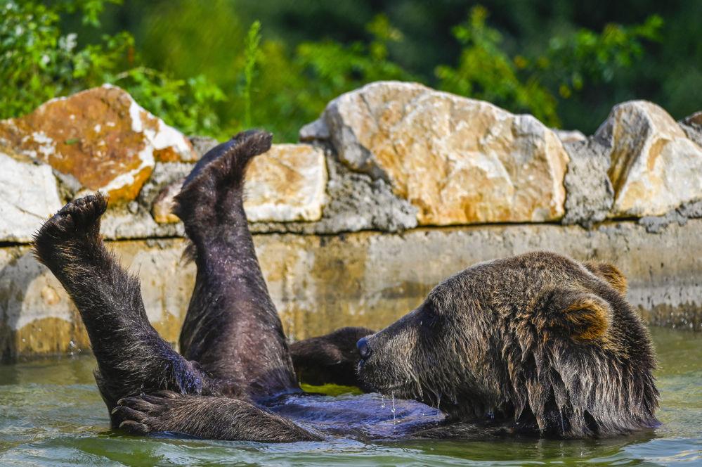 棕熊在姆拉莫爾村保護區泳池游泳。
