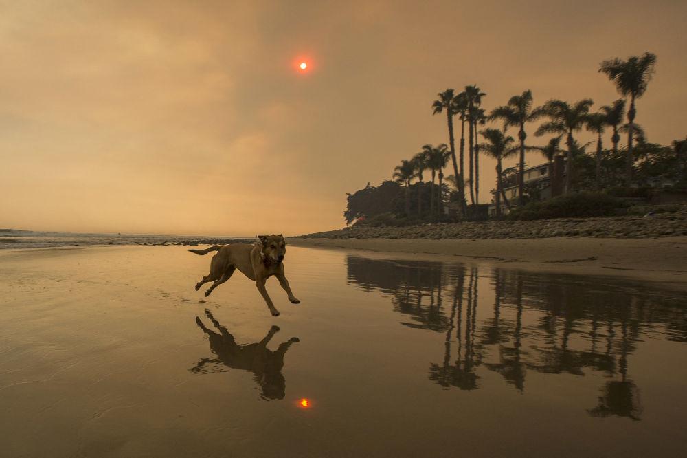 加利福尼亞海灘上奔跑的寵物犬。