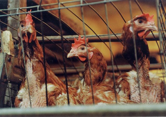 台灣當局因禽流感病毒威脅撲殺12萬只雞