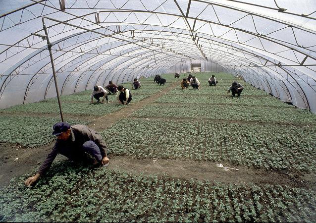 中國菜農(俄羅斯濱海邊疆區)