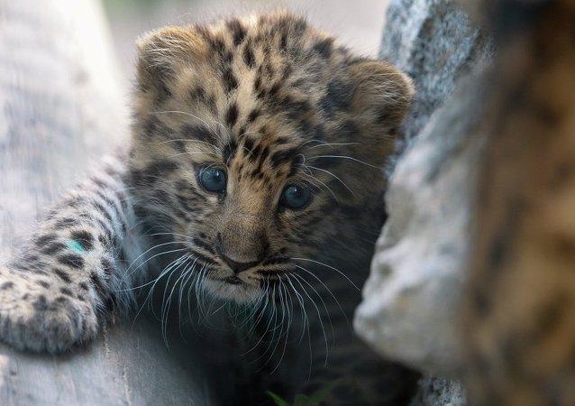 遠東豹數量猛增近兩倍