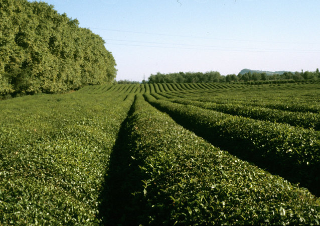 中國將幫助格魯吉亞恢復茶葉種植