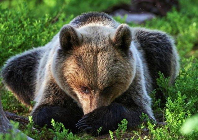擇捉島居民開車碾壓棕熊 將出庭受審