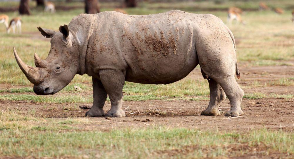 坦桑尼亞稀有犀牛數量翻十番
