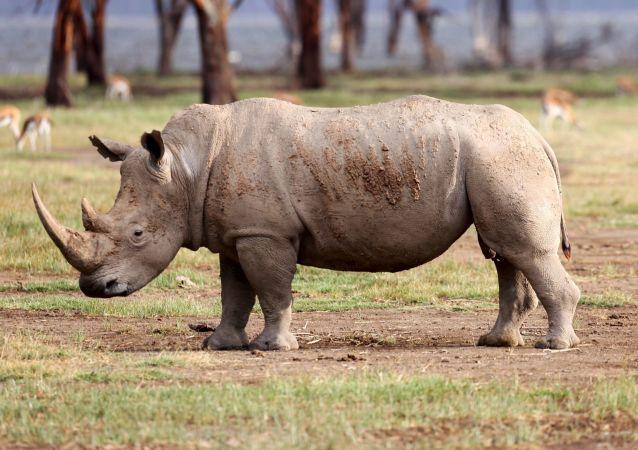 馬來西亞的最後一頭蘇門答臘犀牛死亡