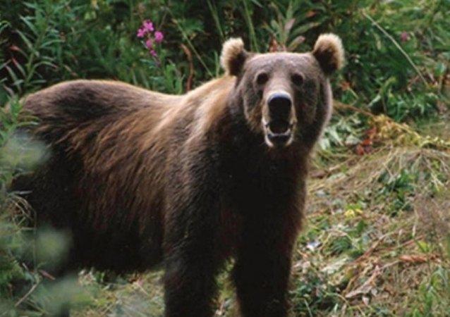 俄羅斯哈巴羅夫斯克邊疆區一養鹿人遭熊攻擊