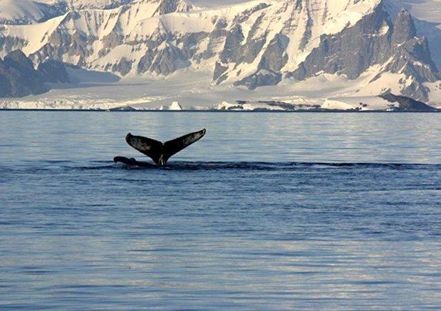 日本捕鯨船出發前往南極捕鯨場