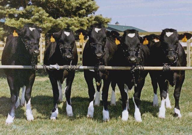 白俄將為俄伊爾庫茨克州設計奶牛場