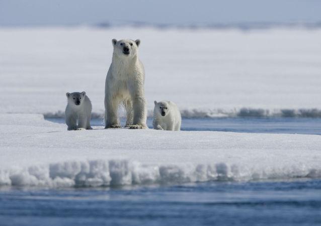 北極熊組團「包圍」俄遠東村莊