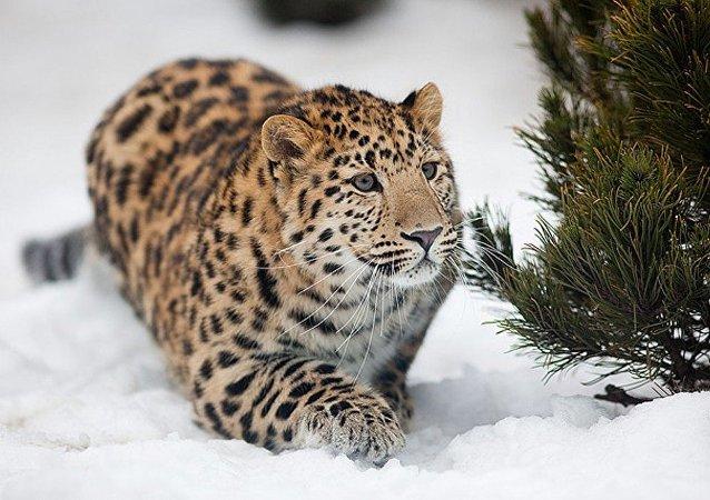 俄羅斯有關濱海邊疆區「豹之鄉」的大型紀錄片將於紐約電影節上映