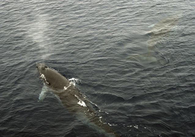 媒體:日本渡輪撞上鯨魚 87人受傷
