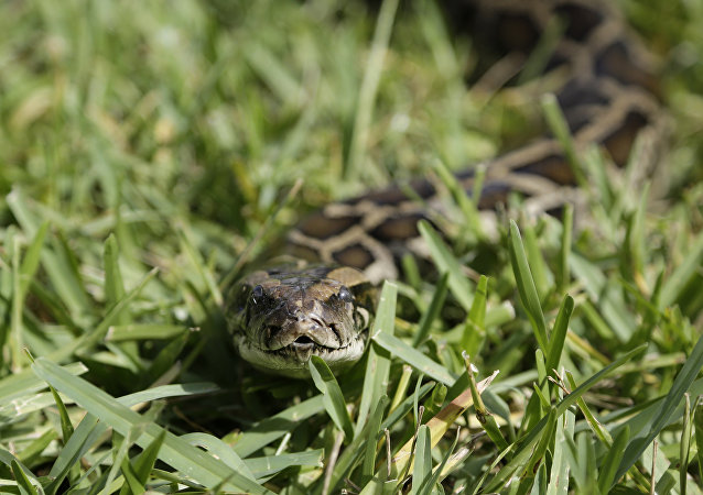蟒蛇(資料圖片)