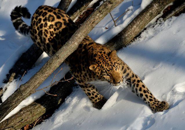 中俄學者:超過30只老虎和豹子經常穿越中俄邊界