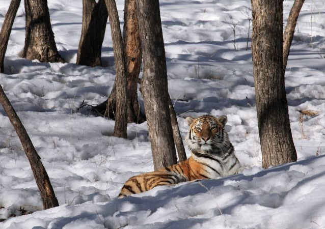 俄羅斯去年秋天失蹤的母老虎菲利帕被找到