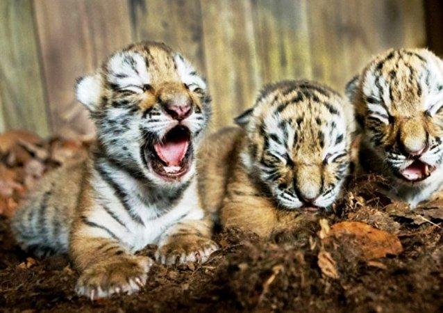 三東北虎幼崽出生在克里米亞野生動物園