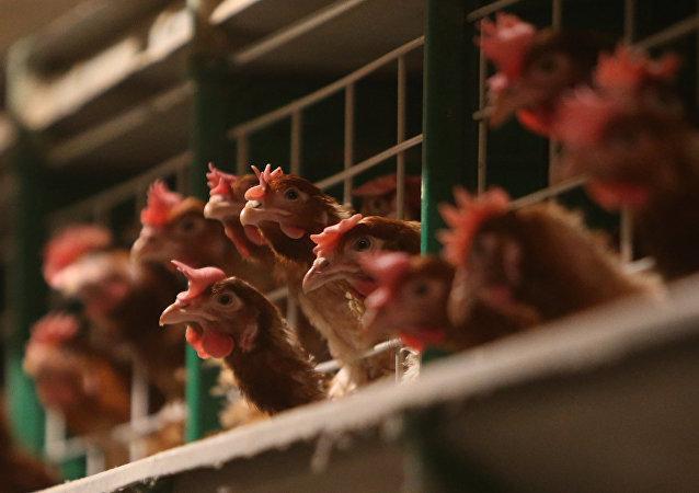 中國國台辦:大陸方面沒有從台灣輸入活禽貿易