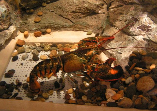 加拿大的一些僧侶將272公斤蝦放生