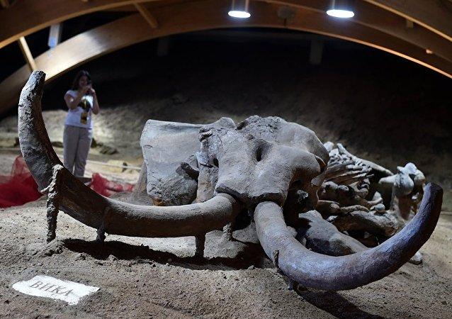 一名中國公民試圖從俄羅斯帶出230公斤的猛獁象牙