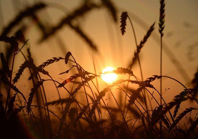 俄羅斯大麥出口量近半年增長一倍