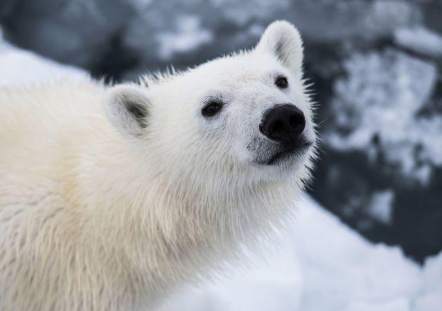 俄楚科奇半島發現一隻落單的北極幼熊 專家正在為其尋找動物園