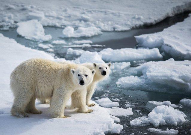 專家:楚科奇的北極熊更胖更溫順了