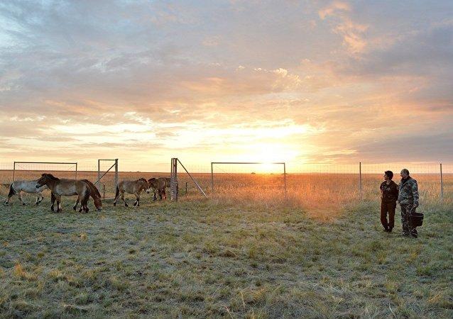 普京把普氏野馬從獸欄放生到奧倫堡州國家自然保護區主要區域