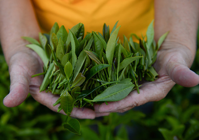 中國植物學家破解茶的基因密碼