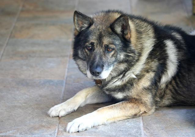 德國牧羊犬暴力鑽貓門被卡住