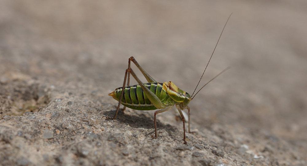 芬蘭將用蟋蟀製作食品添加劑