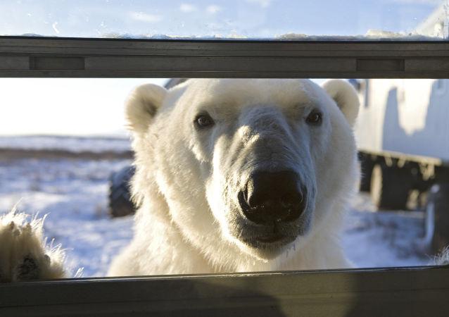 一頭白熊爬進斯匹次卑爾根島的一家旅館並被困