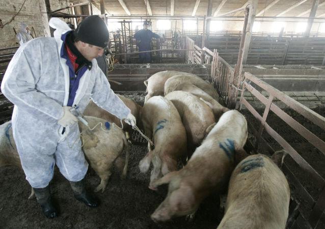 Уничтожение поголовья свиней, зараженных африканской чумой