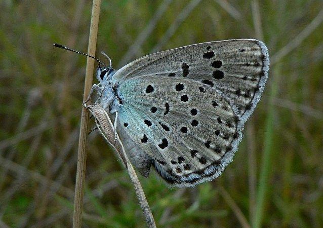 基因編輯過的菜蛾在美國被放生到大自然中