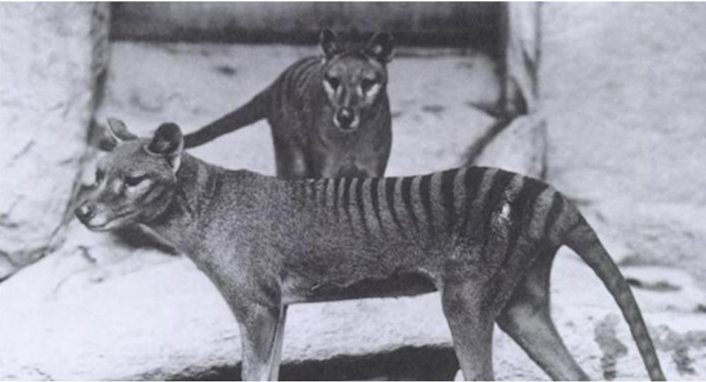 澳大利亞發現絕種袋狼蹤跡