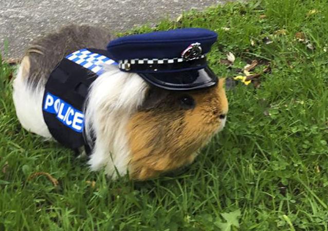 豚鼠埃利奧特——新西蘭警察局的吉祥物,只是被戲稱為警察。