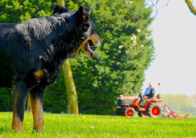 英國的一隻狗駕駛拖拉機軋死了自己的千萬富翁主人