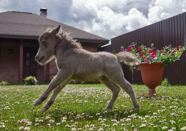 世界最小馬駒在俄降生