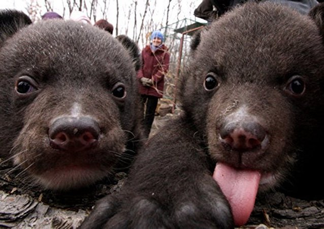 兩只獲救的喜馬拉雅熊幼崽放歸自然