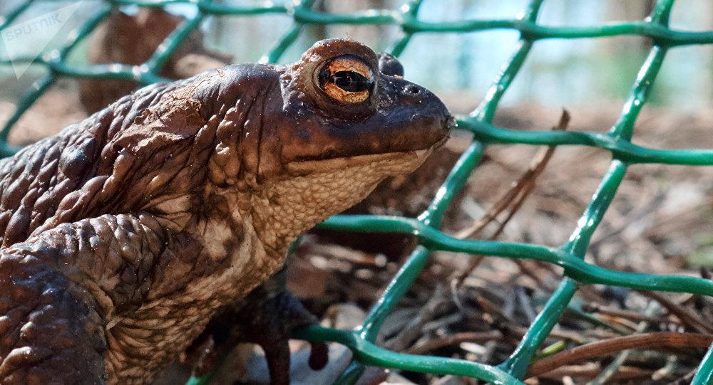 生物學家首次描述蟾蜍如何模仿毒蛇