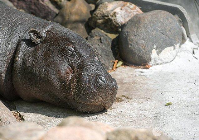 納米比亞國家公園100多只河馬可能因炭疽爆發而死亡