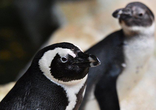南極3.6萬只企鵝活活餓死
