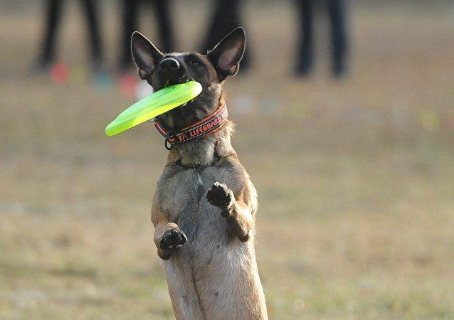 比利時牧羊犬