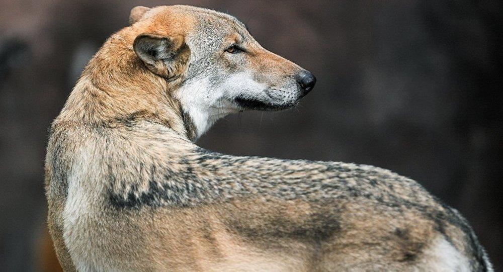 哈爾濱極地館從塞爾維亞引進五隻野生北極狼