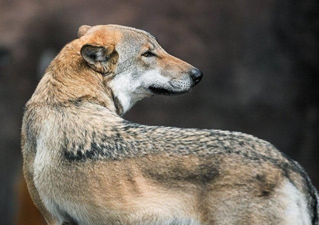 科學家拍下狼頭昆蟲的照片