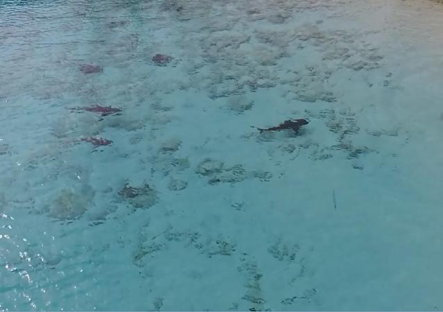 巴哈馬男孩奇跡躲過四鯊圍攻(視頻)