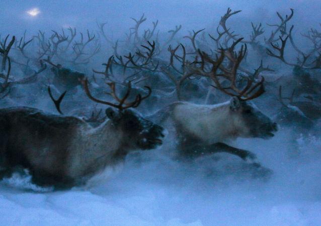 俄涅涅茨克自治區州長:鹿全身是寶 應當發展養鹿業