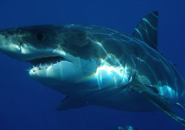 在澳大利亞一隻滅絕的鯊魚的巨大牙齒被盜