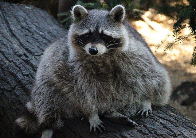 中國球迷在俄喀山動物園被浣熊咬傷