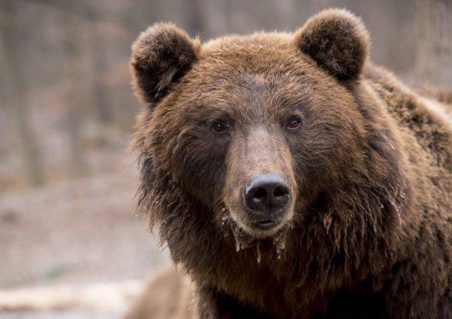 在「布良斯克森林」中的巨熊之舞被拍下