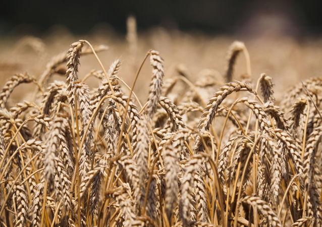 俄糧食聯盟:俄2017-2018農業年度糧食出口量或將達5200萬噸